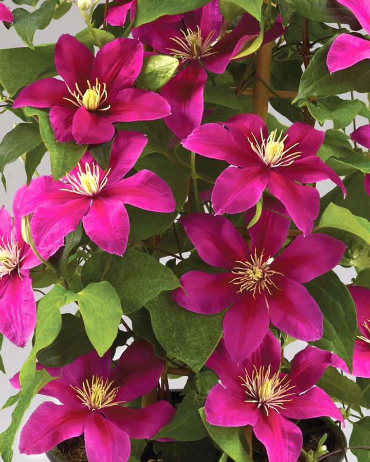 Clematis Acropolis very free flowering