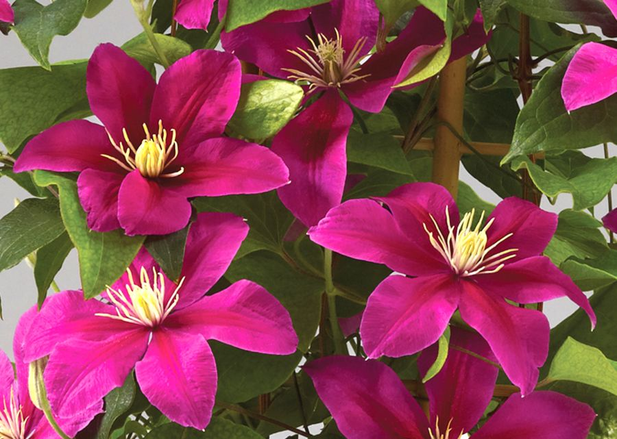 Clematis Acropolis nice yellow centre