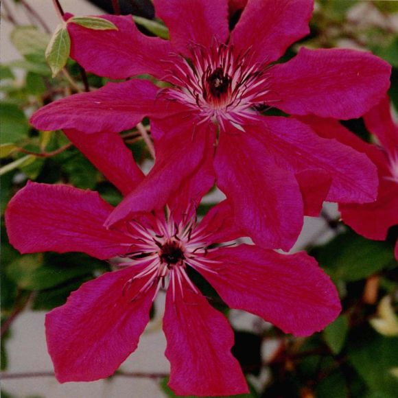 Clematis Allanah old pic