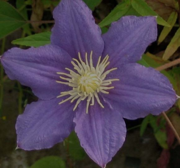 Clematis Beauty of Worcester in single form old pic