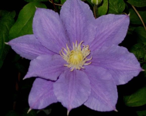 Clematis Beauty of Worcester in semi-double form old pic