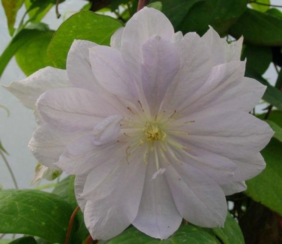 Clematis Belle of Working close up
