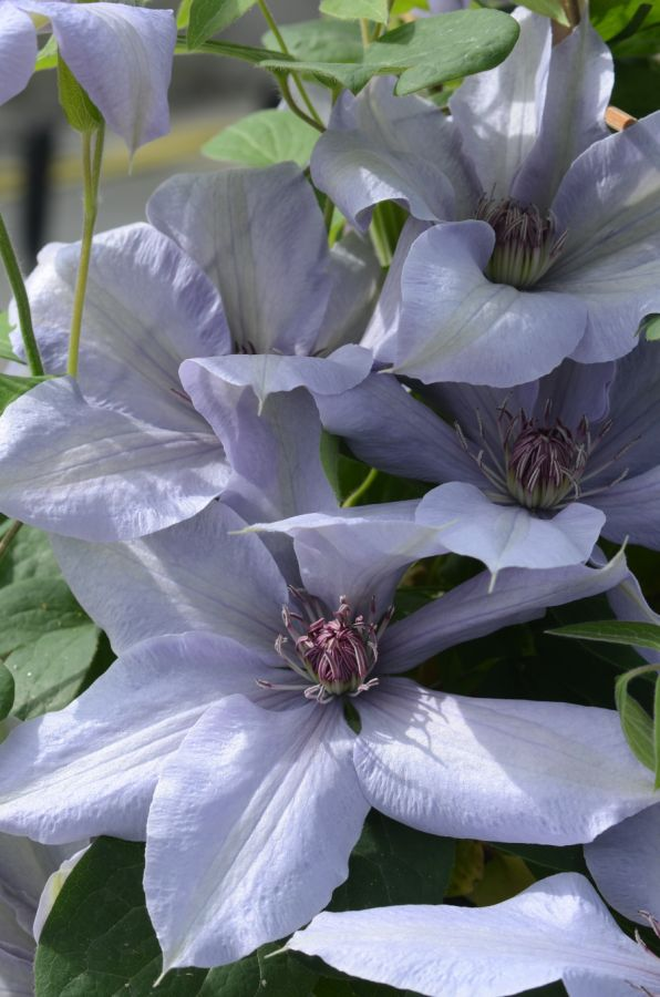 Clematis Bernadine new for 2014