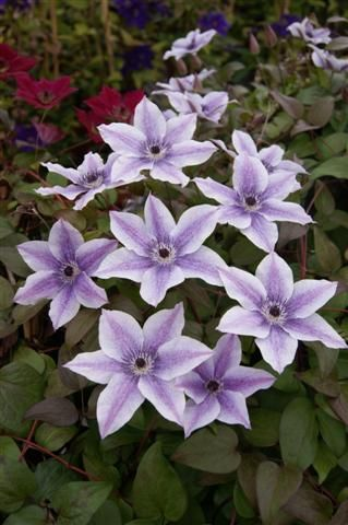 Clematis Best Wishes old pic