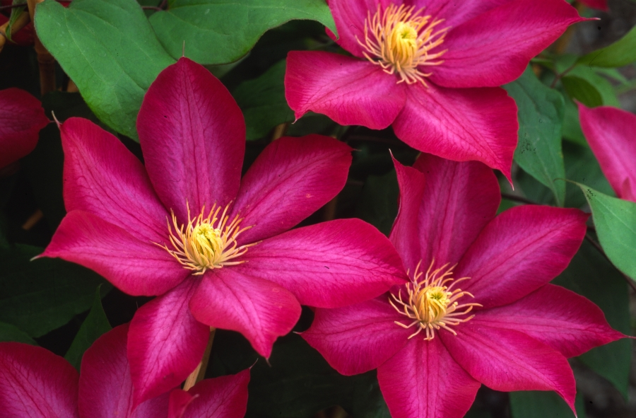 Clematis Bourbon group shot