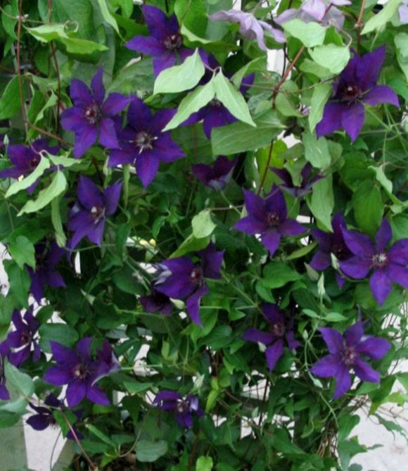 Clematis Burma Star mass shot