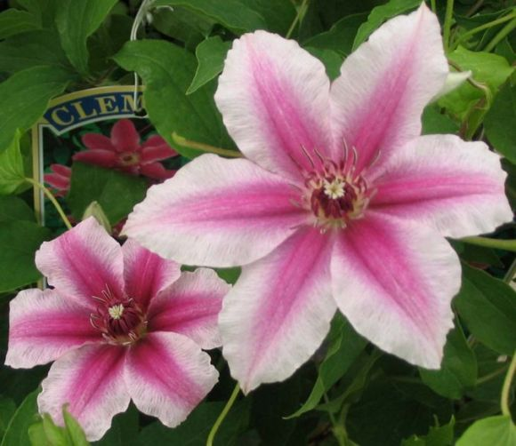Clematis Carnaby nice pair
