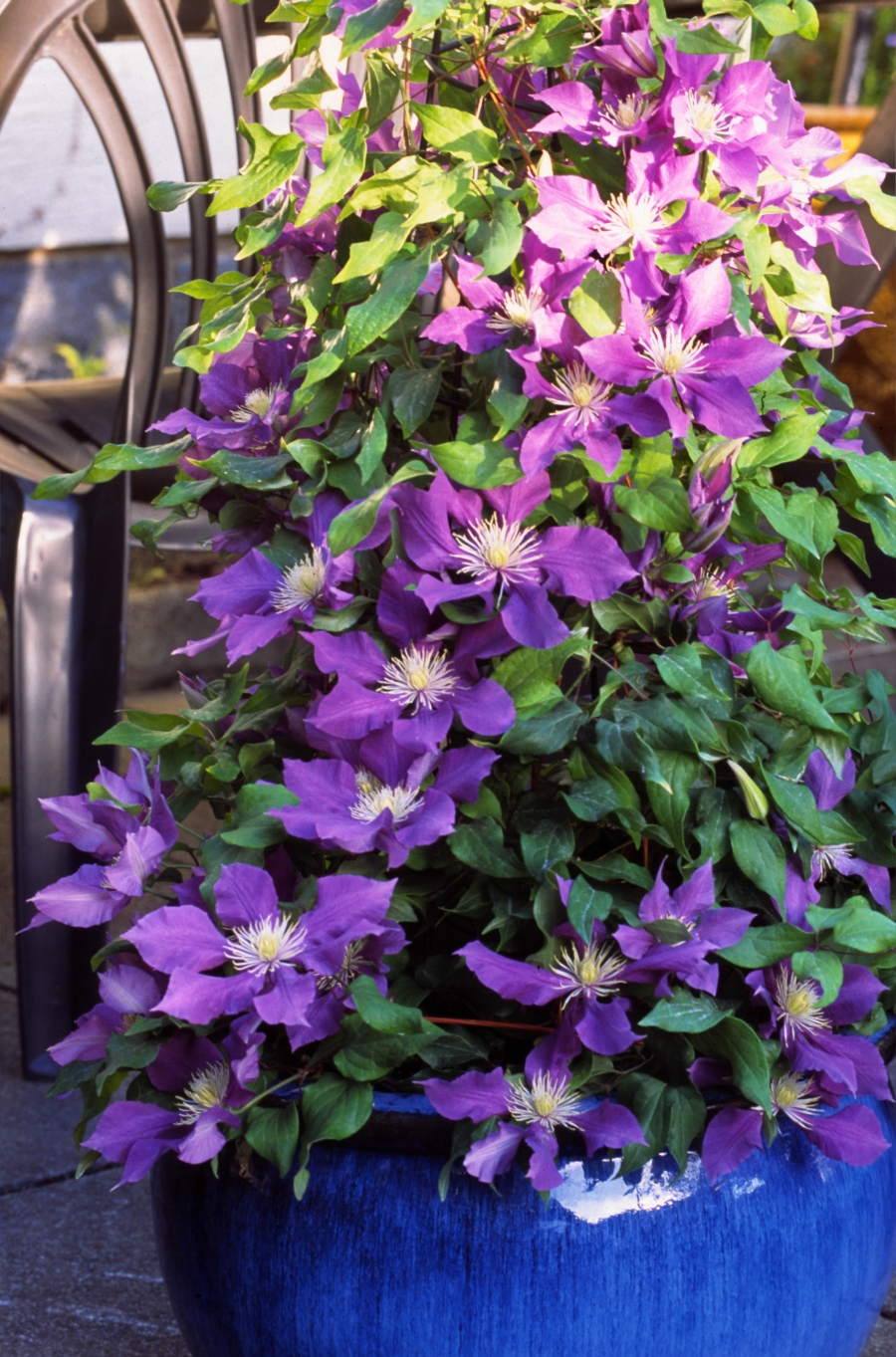 Clematis Chevalier group shot