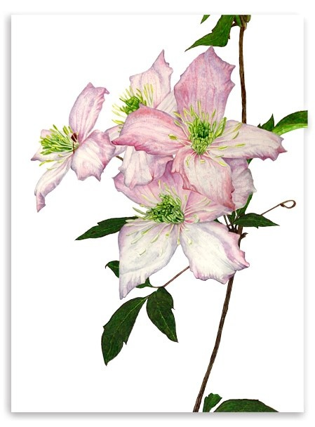 Clematis Montana fine art Gicle print