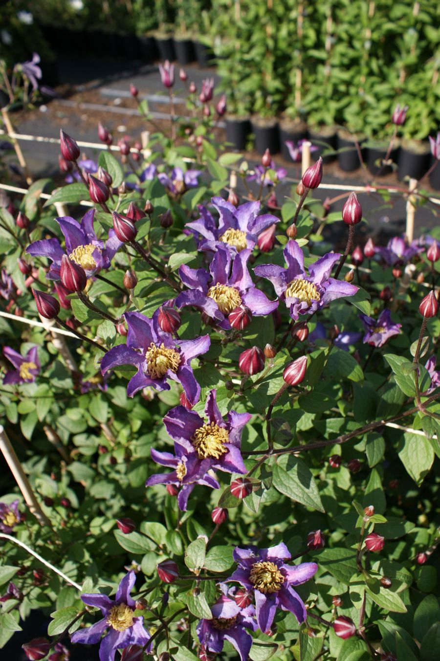 Clematis Exciting new for Chelsea 2012
