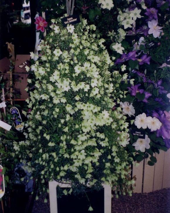 Early Sensation masses of flower