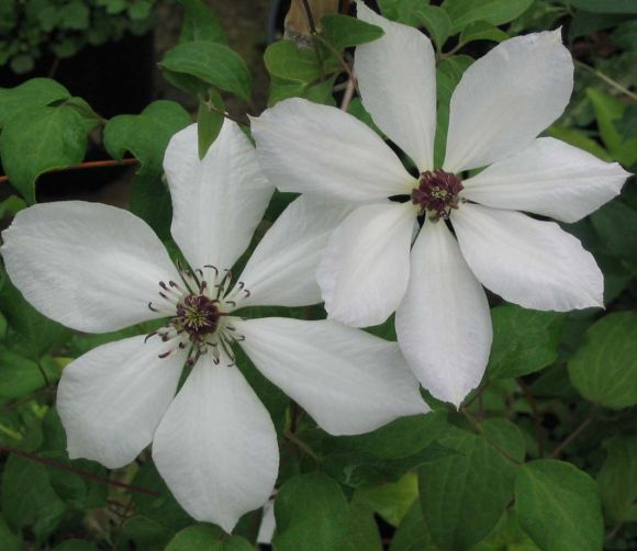 clematis Edith nice pair
