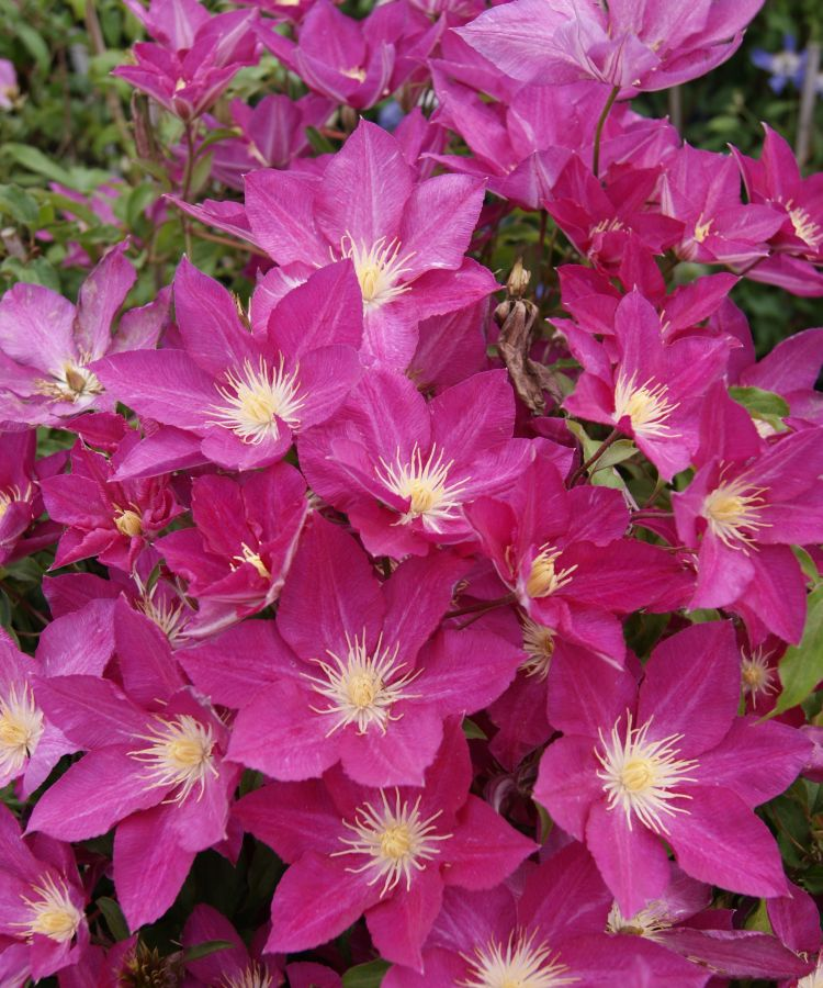 Clematis Freedom masses of flower