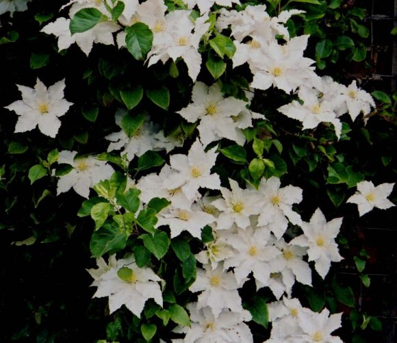 clematis Gillian Blades old pic group shot