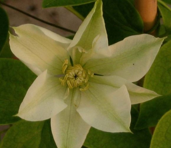Clematis Guernsey Cream just opening