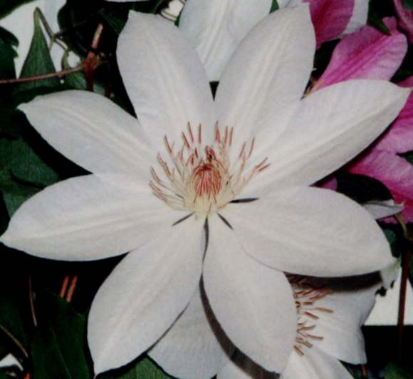 clematis Henryi old pic