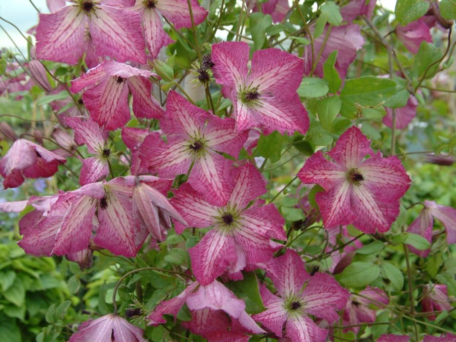 clematis I am Happy close up