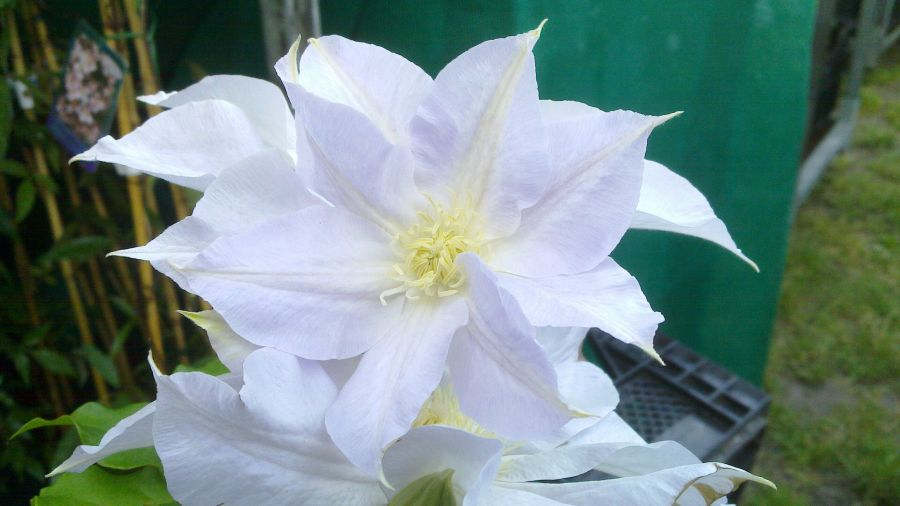 Clematis Ice blue up close