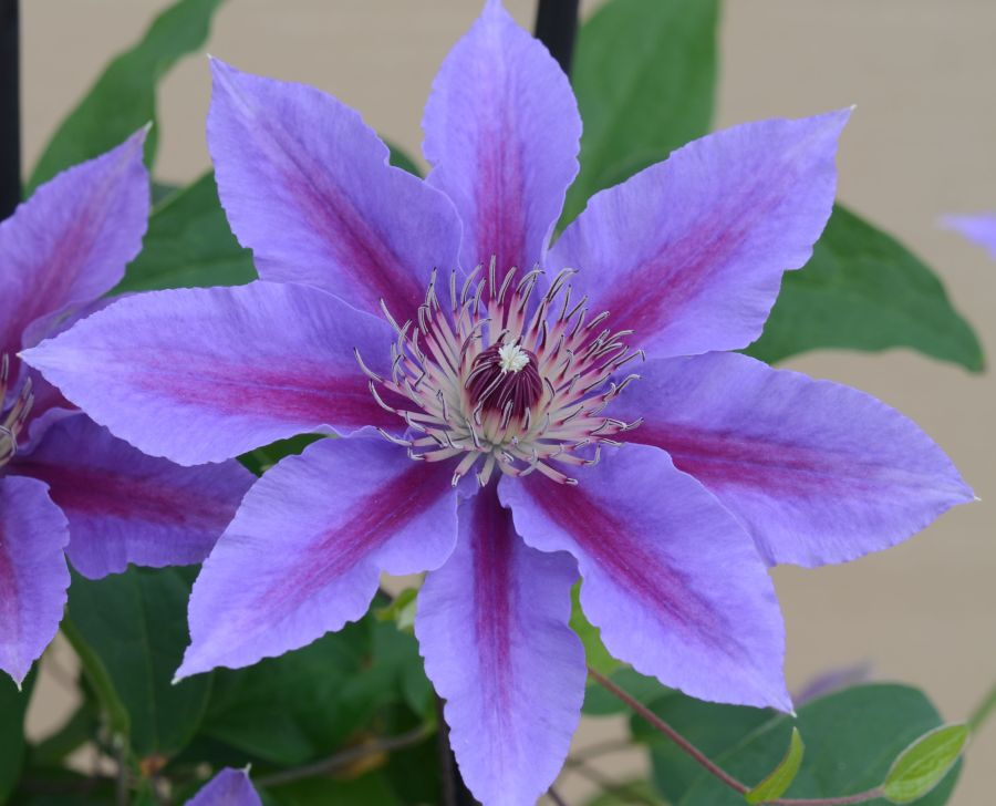 Clematis Ines close up