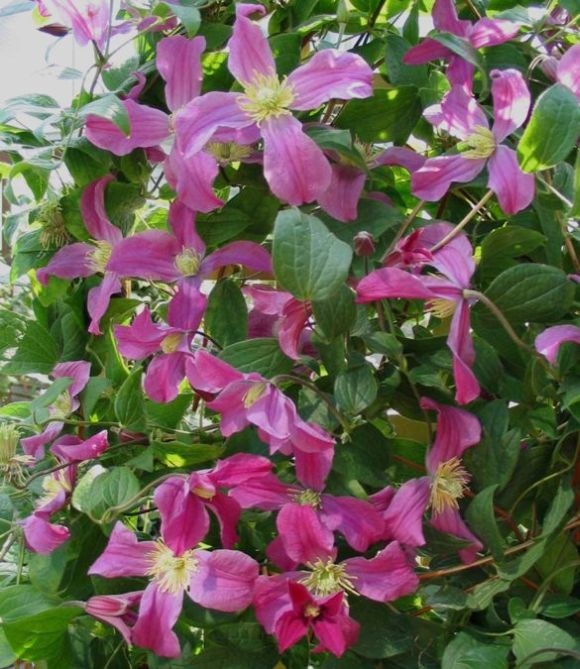 Clematis Inspiration