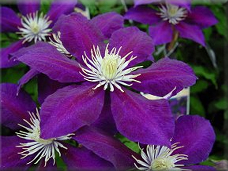 clematis Julka fully open
