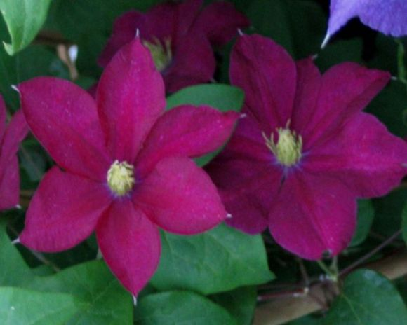 clematis Madame Edouard Andre nice pair