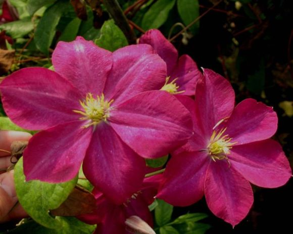 clematis Madame Edouard Andre wet flowers look great