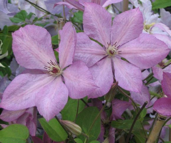 Clematis Margaret Hunt nice pair