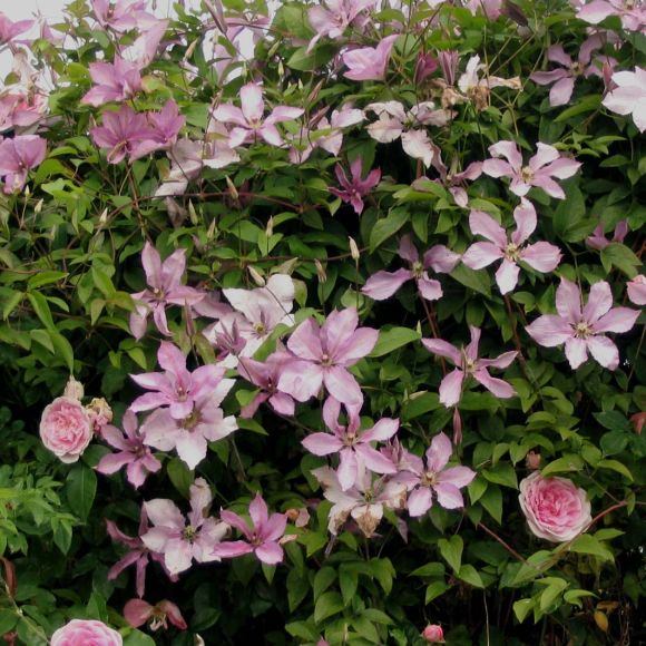 Clematis Margaret Hunt group shot
