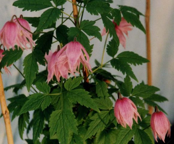 Clematis Markhams Pink group shot