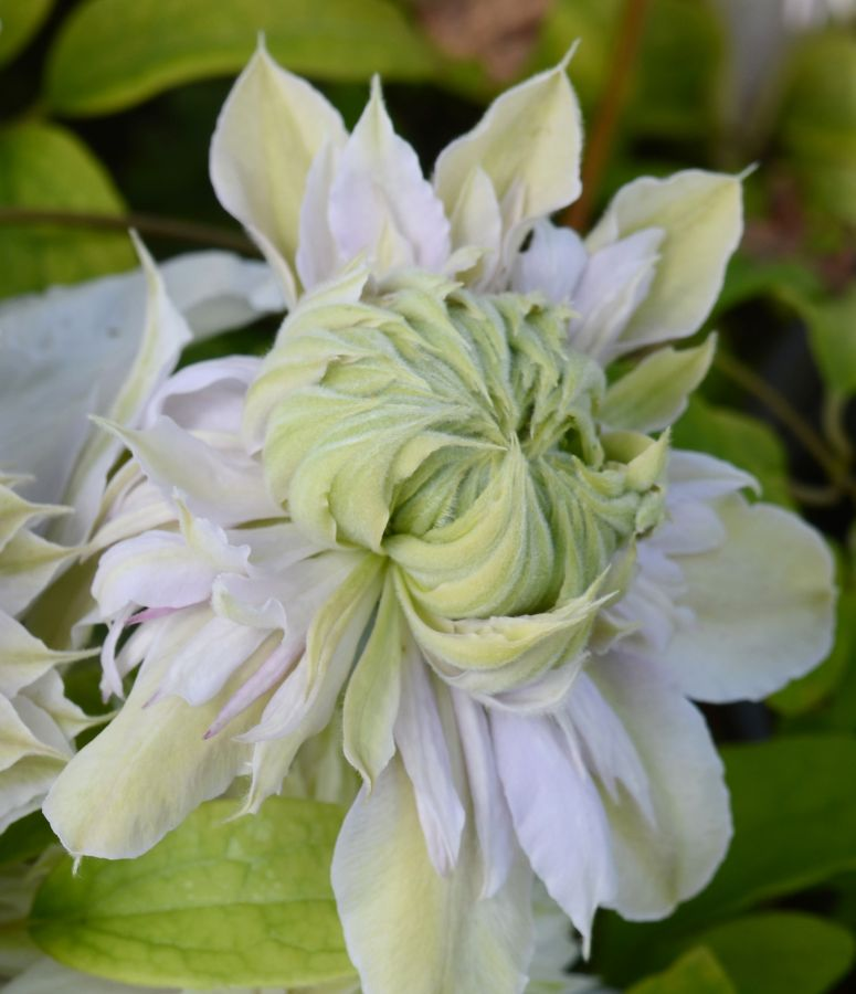 Clematis Moonglow just opening