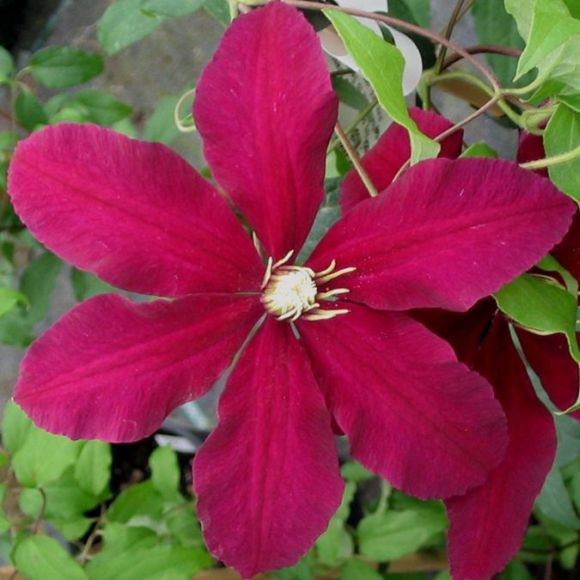 Clematis Niobe close up