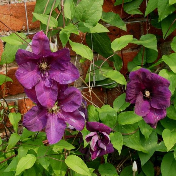 Clematis Perrins Pride mass shot