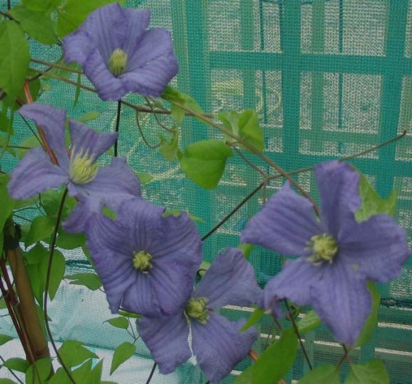 Clematis Prince Charles mass shot