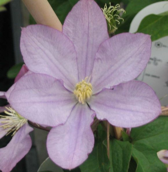 Clematis Proteus old pic in single form