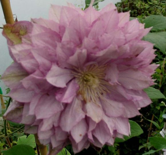 Clematis Proteus old pic double form