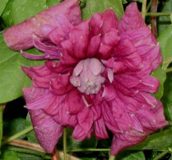 Clematis viticella Purpurea Plena Elegans (old picture)