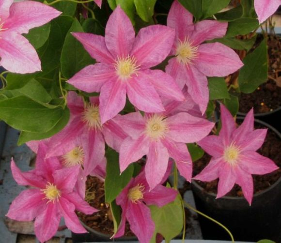 Clematis Red pearl mass shot