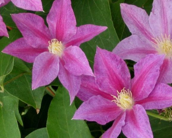 Clematis Red pearl nice sized flowers