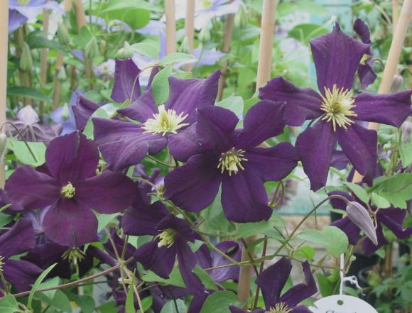 Clematis Romantika group shot