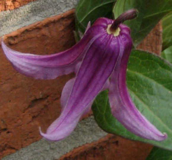 Clematis integrifolia Rosea nodding