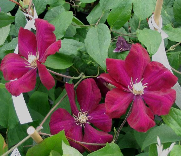 Clematis Rouge Cardinal old group shot