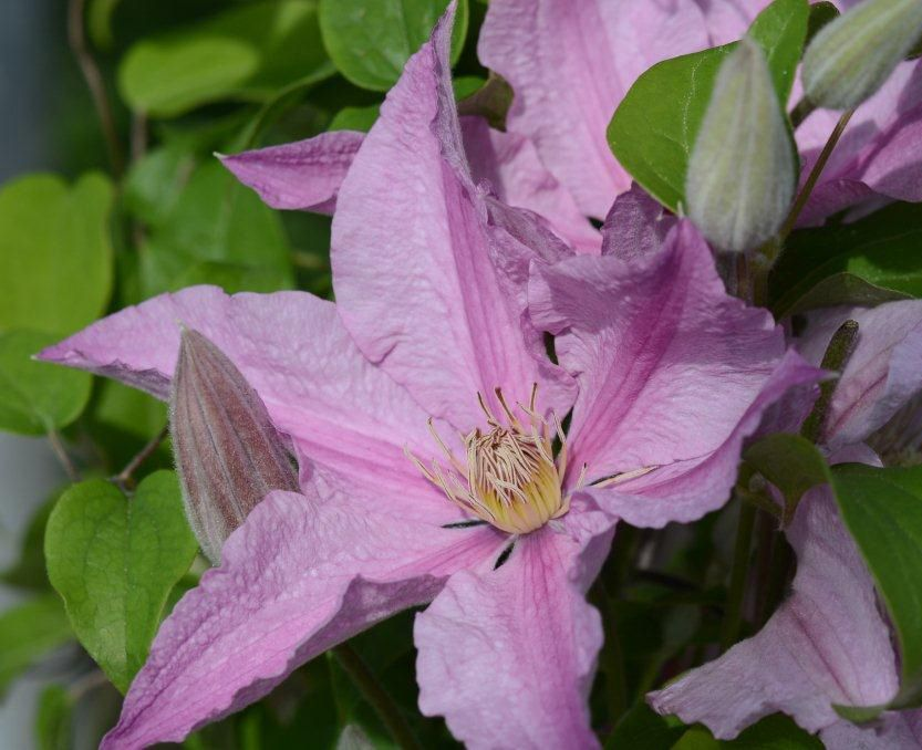 clematis sally just opening