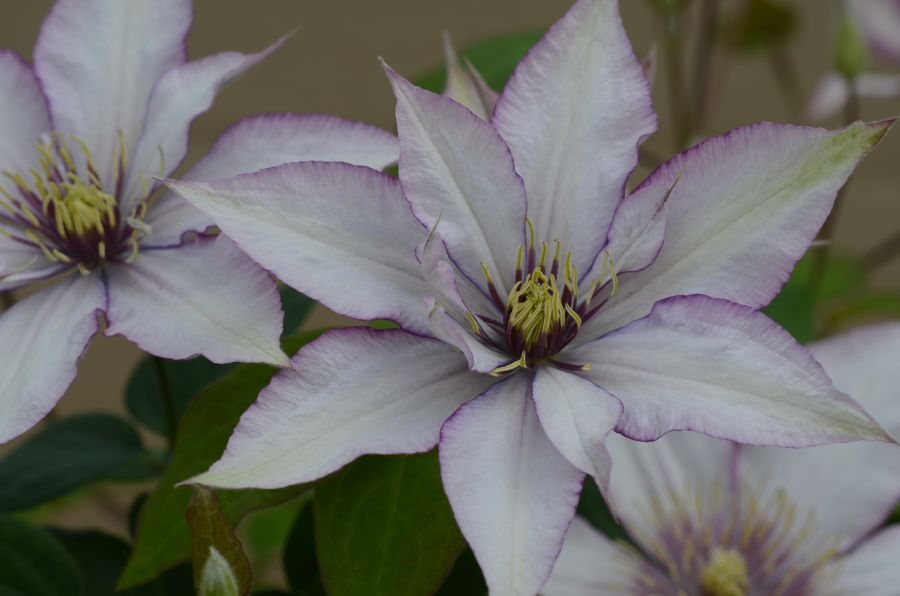 Clematis Samaritan Jo close up