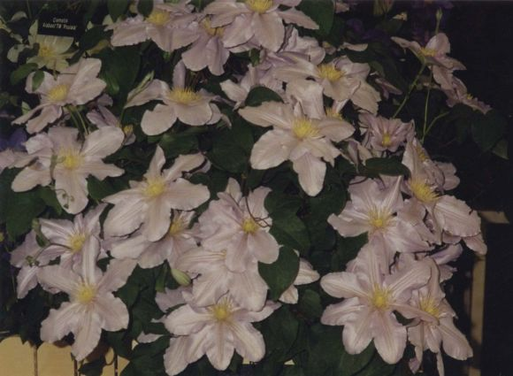 Clematis Silver Moon mass old shot