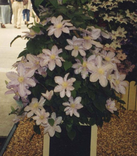 Clematis Silver Moon displayed in a pot