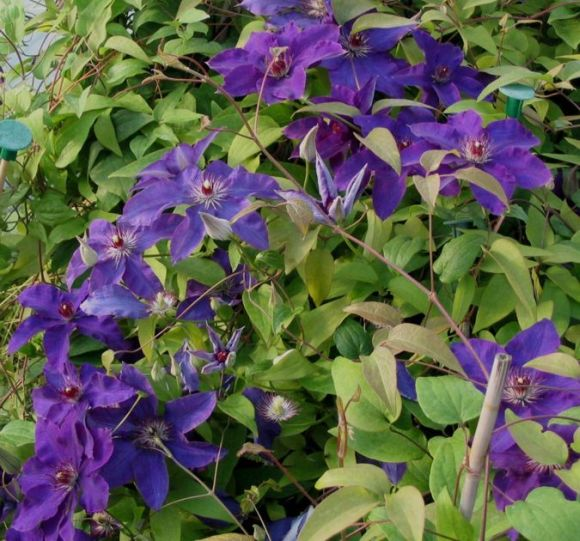 Clematis The President mass flowering old pic