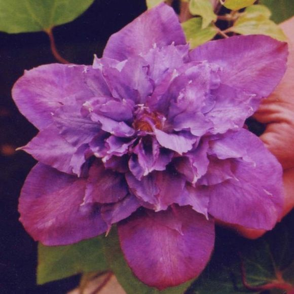 Clematis Vyvyan Pennell old pic