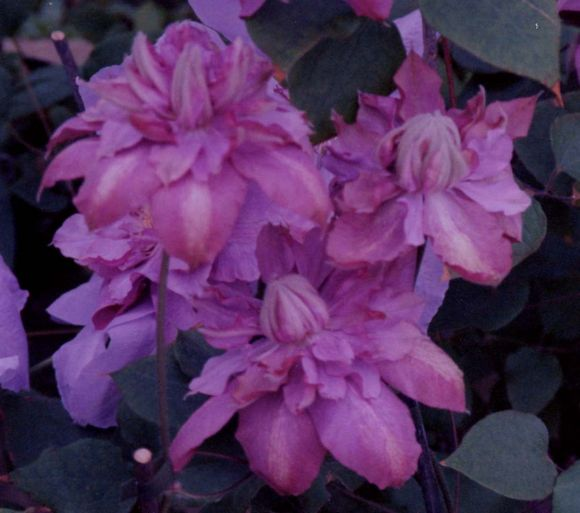 Clematis Vyvyan Pennell just opening old pic