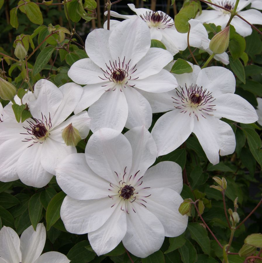 Clematis White Pearl mass shot